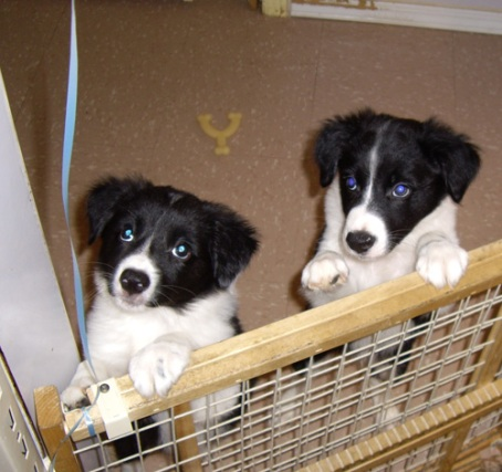 Border Collies - Balloon